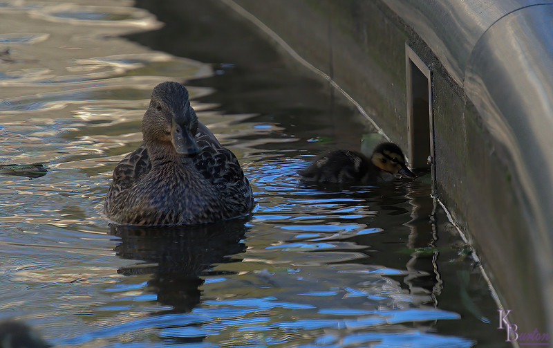 DSC_9776 the ducks of BPC_DxO