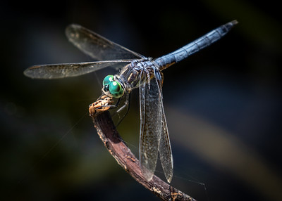 Chalfant_Kelly_L_Dragonfly2_WWKnight_02