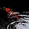 9037 Golden Koi Skims Black Waters  copy 3