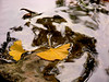 2457-Ginko-Leaves-_v1 copy