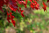 2761-Crimson-Oak-Foliage- copy