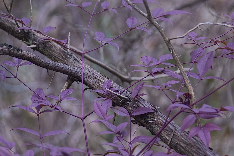 3564 Violet-Nandina-In-Winter- copy