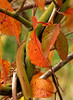 2774-Autumn-Vines-And-Color-_v1