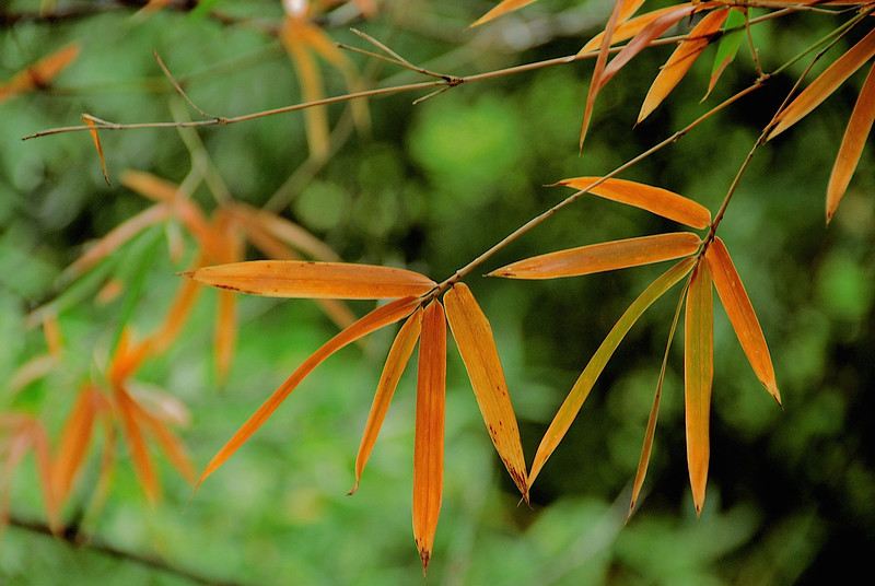 2747-Bamboo-In-Autumn-