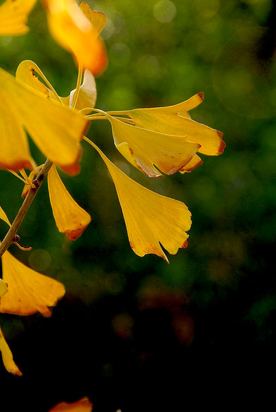 2821-Autumn-Stained-Ginkgo-Leaves--(1)_v1 copy