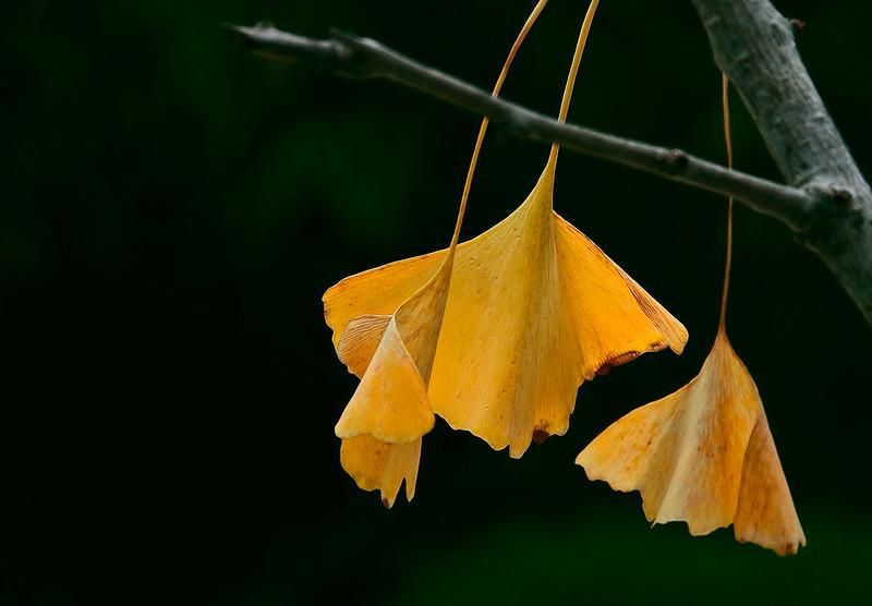 3210 Gincko--In-Autumn- copy