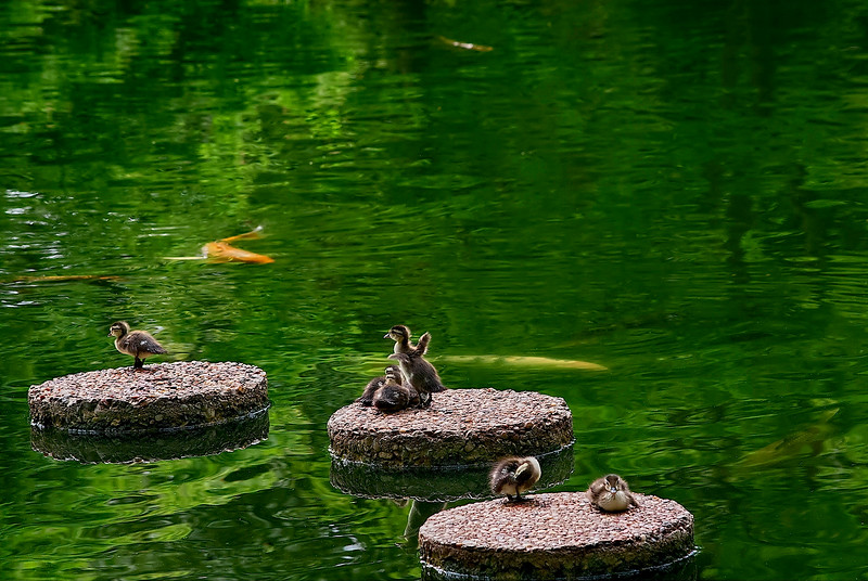 4436 Young-Wood-Ducks-Rest-On-The-Sstepping-Stones-Of-A-Koi-Pond-_v1 copy