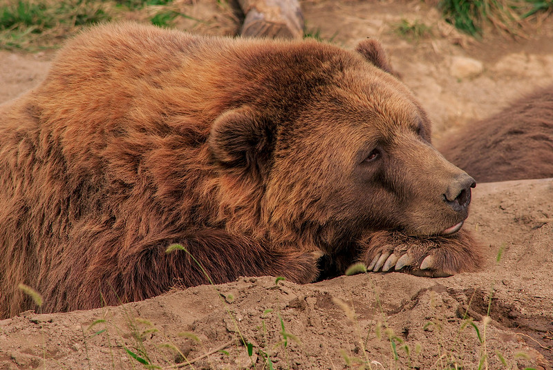 4633 Grizzly-Bear-At-Rest-_v1 copy