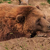 4633 Grizzly-Bear-At-Rest-_v1 copy