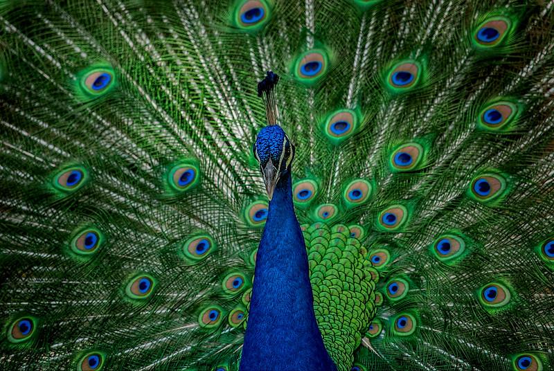 4538 Classic-Peacock-Pose-_v1 copy