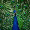 4538 Classic-Peacock-Pose-_v1 copy
