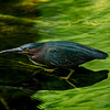 4522 Green-Heron-Stalking_v1