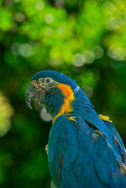 _4506  Blue-Macaw-Parrot-_v1