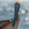 4302 Brown-Pelican_v1 copy