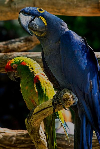 4526 Parrots-_v1