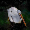4499 Great-White-Pelican-_v1