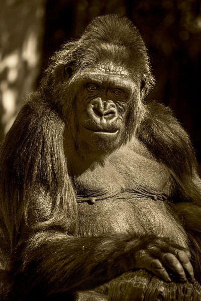 4527 Silverback-Gorilla-Female_v1