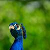 4574 Peacock-_v1 copy