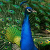 4539 Illuminated-Peacock-_v1 copy