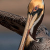 4329 Portrait-,Brown-Pelican-_v1 copy