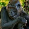 4500 Silverback-Gorilla-_v1