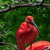 4497 Scarlet-Ibis-_v1