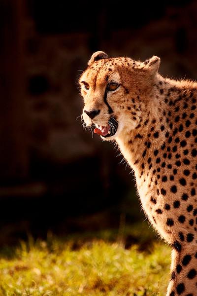 4632 Cheetah-Stalking-_v1 copy