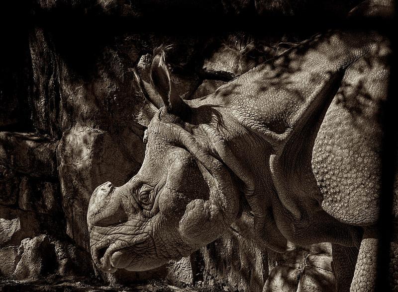 4501 Old-Rhino-_v1