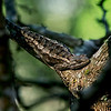 4531 Spiny-Lizard-Basks-In-The-Sun-_v1 copy
