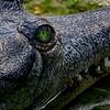 4498 Gharial-Crocodile_v1_v1