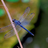 2697--colbalt-dragonfly-_v1_v1 copy
