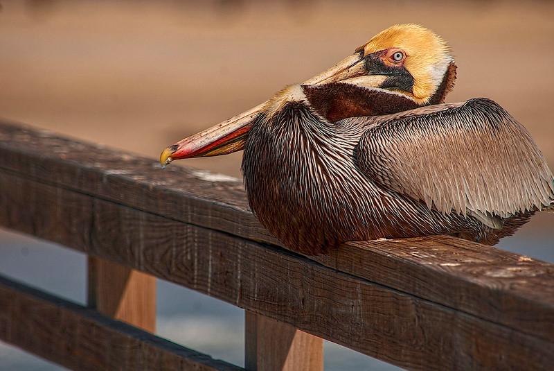 4316 Resting-Brown-Pelican_v1 copy