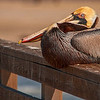 4316 Resting-Brown-Pelican_v1 copy
