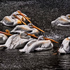 4998 Pelicans-Basking-In-A-Fountain-Spray-_v1 copy