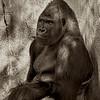 4507 Elder-Silverback-Gorilla-_v1_v1