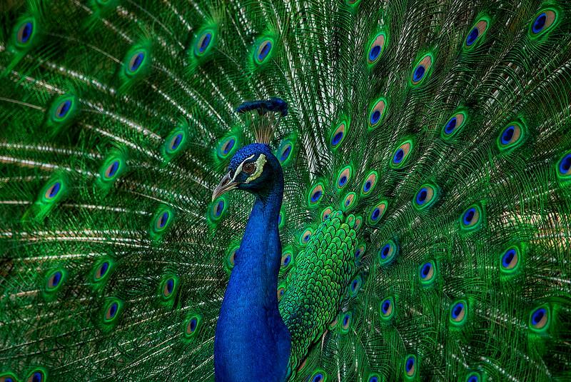 4439 Peacock_v1 copy