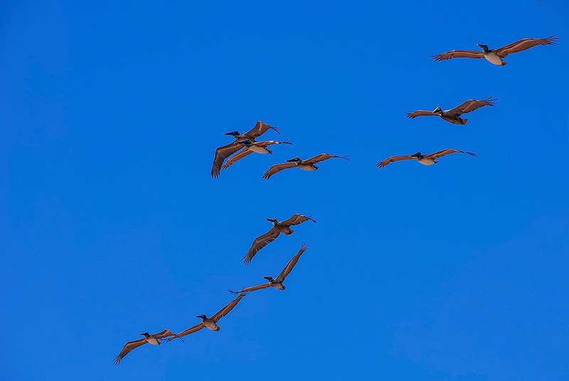 4293 Pelicans-In-Flight-Formation_v1 copy