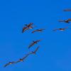 4293 Pelicans-In-Flight-Formation_v1 copy