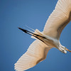 4494 Great-White-Heron-_v1