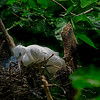 4514 Egret-Fledgling-In-Nest-_v1