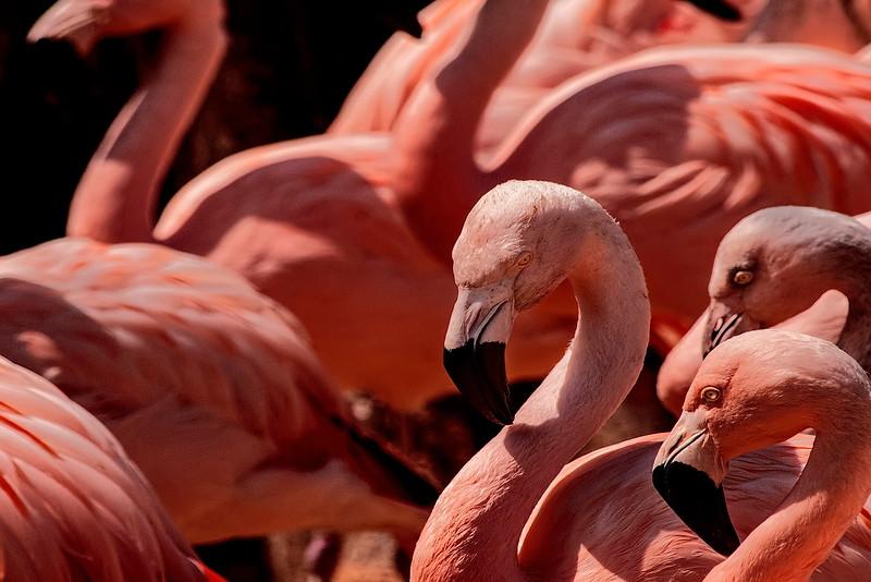 4512 Carribean-Flamingos-_v1_v1