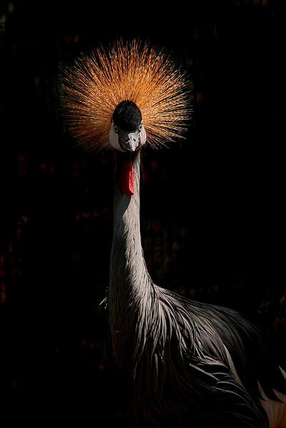 4513 African-Grey-Crowned-Crane-_v1