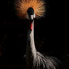 4513 African-Grey-Crowned-Crane-_v1