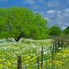 6322 Prickly Poppy Meadow 30x20  copy