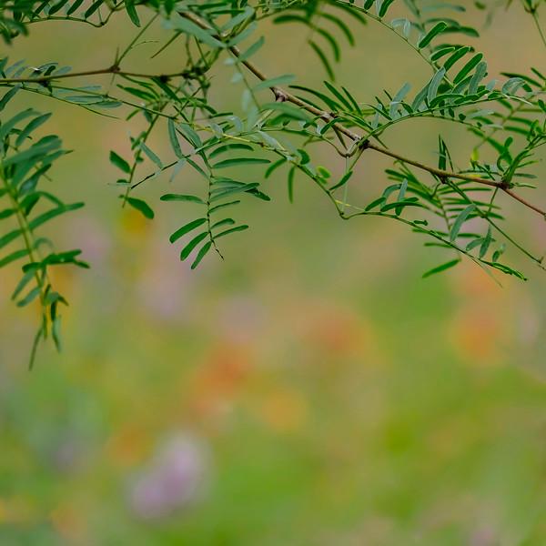 6539 Soft Light On Mesquite Branches_v1 copy 2