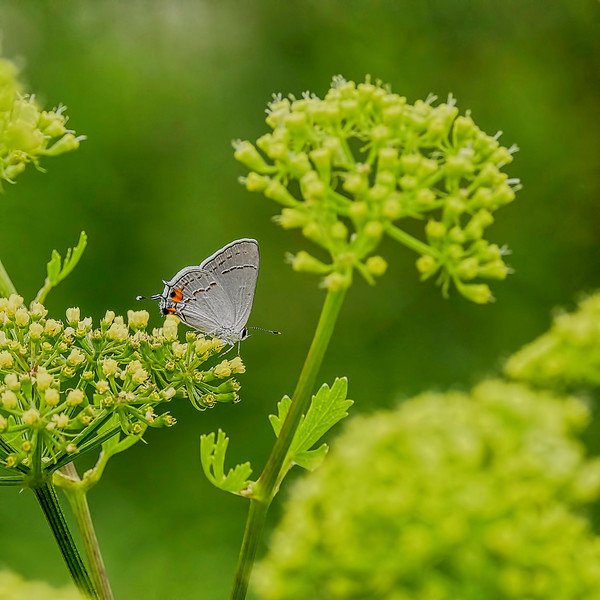 6487 Grey Hairstreak Buttterfly _v1 copy