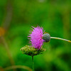 6474 Thistle Bloom _v1 copy 2