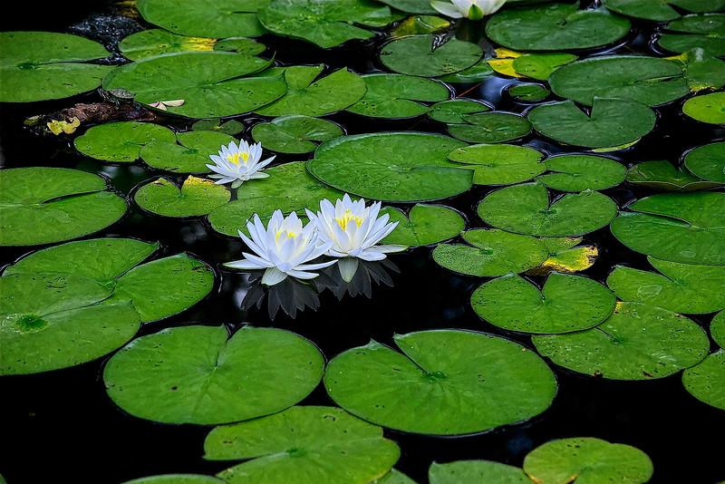 4578 Pristine-Waterlilies_v1 copy