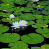 4578 Pristine-Waterlilies_v1 copy