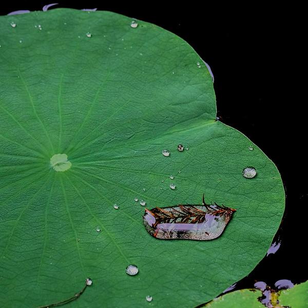 6829 Cyprus Needles Encased In Water Drop _v1 copy